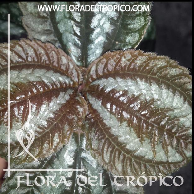 Pilea involucrata Comprar - Tienda Flora del Tropico-