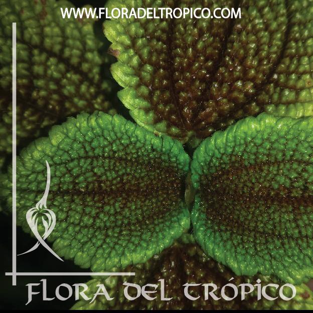 Pilea mollis comprar - Flora del Tropico Tienda