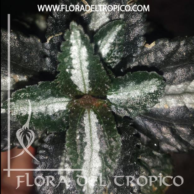 Pilea spruceana Comprar - Tienda Flora del Tropico