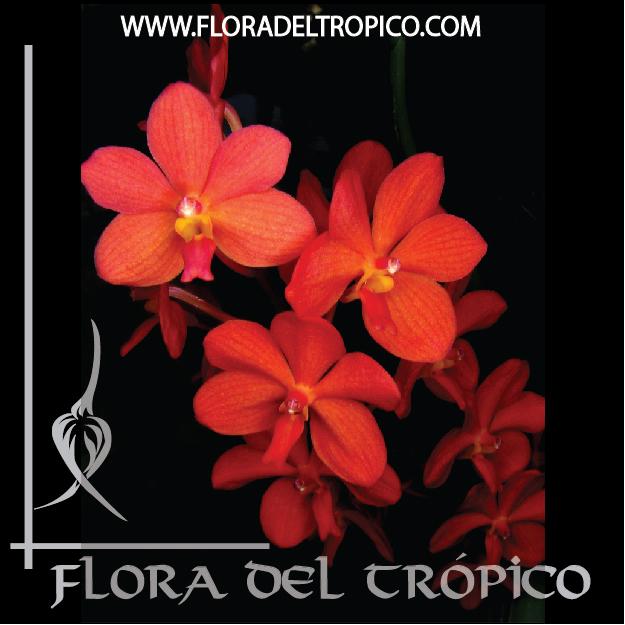 Orquidea Ascocentrum curvifolium comprar - Flora del Tropico Tienda--01