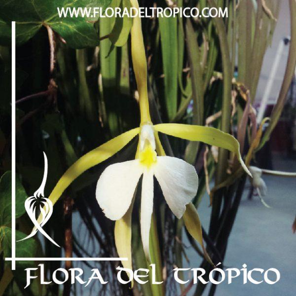 Orquidea Coilostylis parkinsonianum comprar - Flora del Tropico Tienda