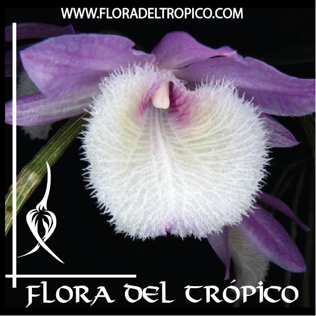 Orquidea Dendrobium pierardii comprar - Flora del Tropico Tienda--01