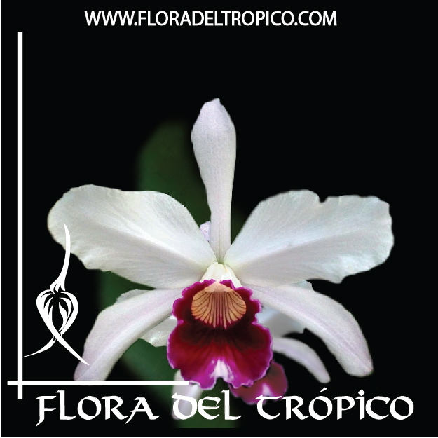 Orquidea Laelia purpurata semi alba comprar - Flora del Tropico Tienda--01-01