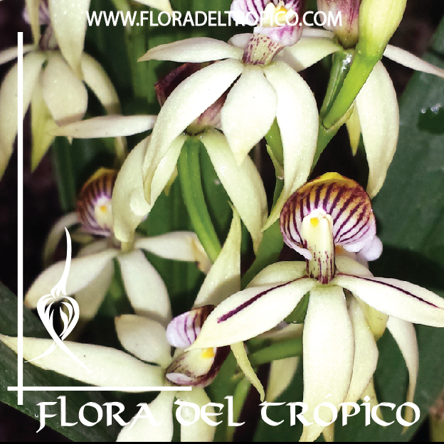 Orquidea Prosthechea trulla comprar - Flora del Tropico Tienda