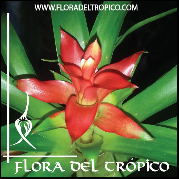 Bromelias Guzmania minor comprar - Flora del Tropico Tienda