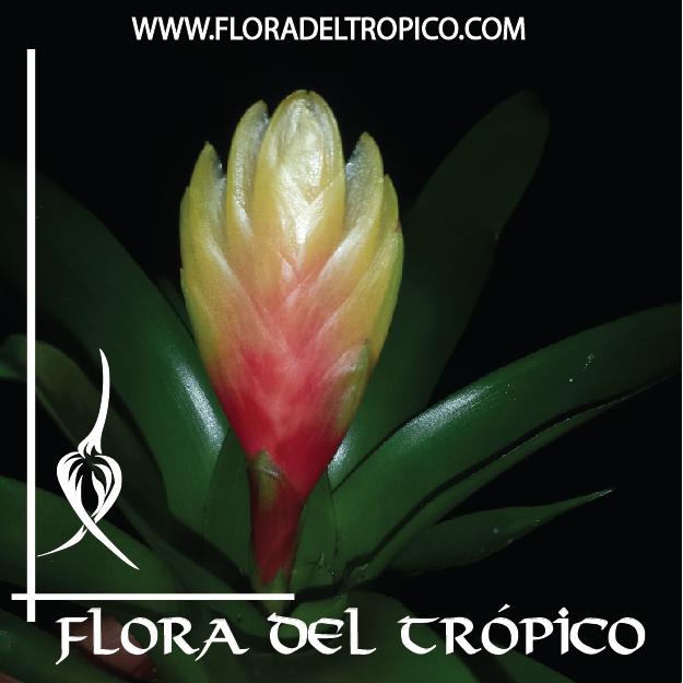 Bromelias Vriesea alba comprar - Flora del Tropico