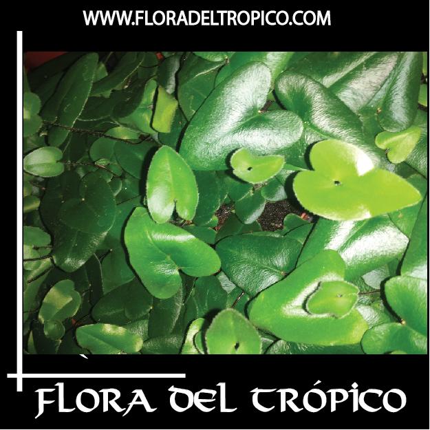 Helecho Hemionitis arifolia Comprar - Tienda Flora del Tropico
