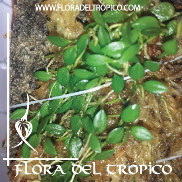 Orquidea Barbosella Gardneri comprar - Flora del Tropico Tienda