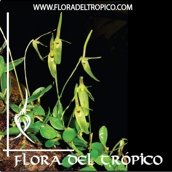 Orquidea Barbosella cogniauxiana comprar - Flora del Tropico Tienda