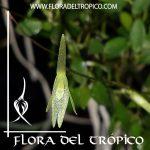 Orquidea Barbosella gardnerii Comprar - Tienda Flora del Tropico