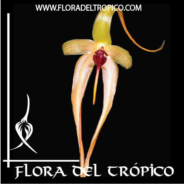 Orquidea Bulbophyllum echinolabium comprar - Flora del Tropico Tienda-01-01