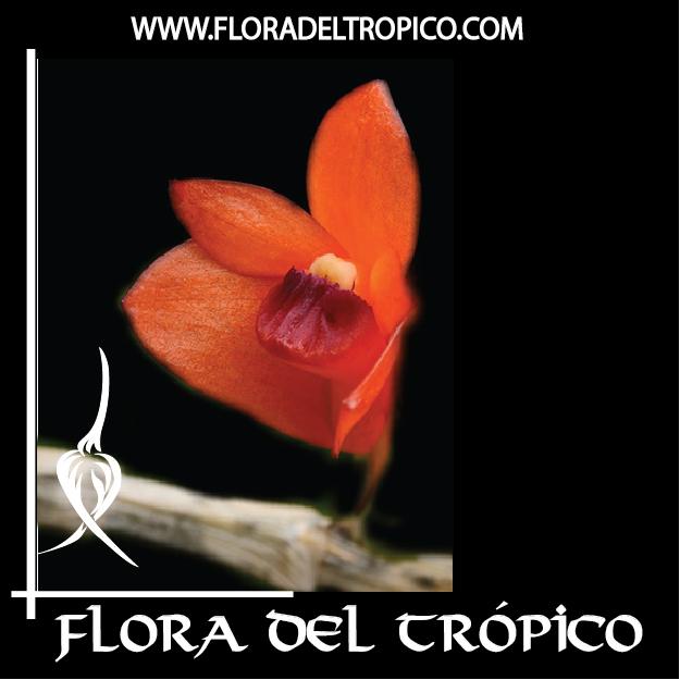 Orquidea Dendrobium mohlianum comprar - Flora del Tropico Tienda