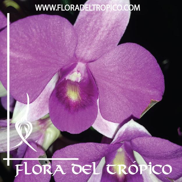 Orquidea Dendrobium phalaenopsis comprar - Flora del Tropico Tienda