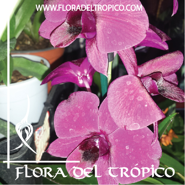 Orquidea Dendrobium thailand black comprar - Flora del tropico Tienda-01-01-01