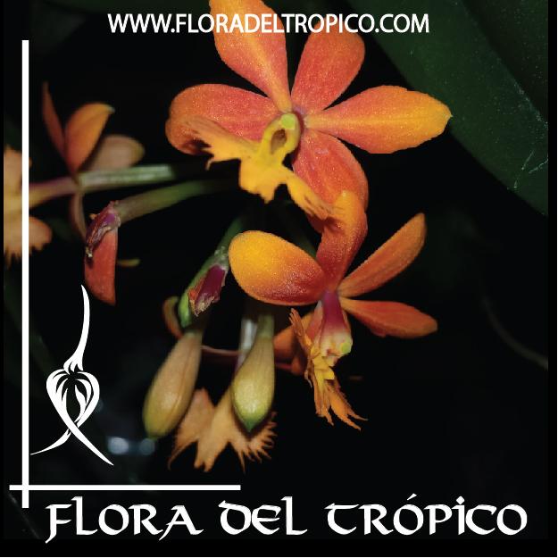 Orquidea Epidendrum radicans Comprar - Tienda Flora del Tropico-01