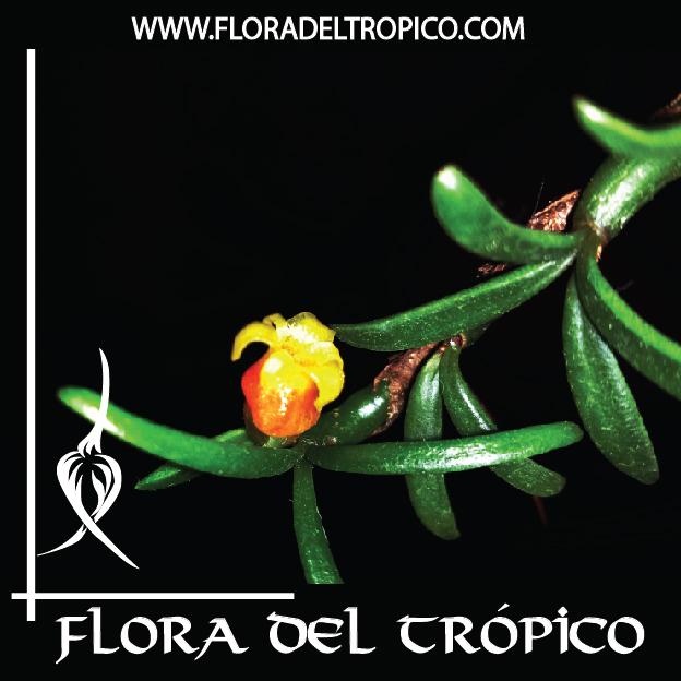 Orquidea Mediocalcar decoratum comprar - Flora del Tropico Tienda