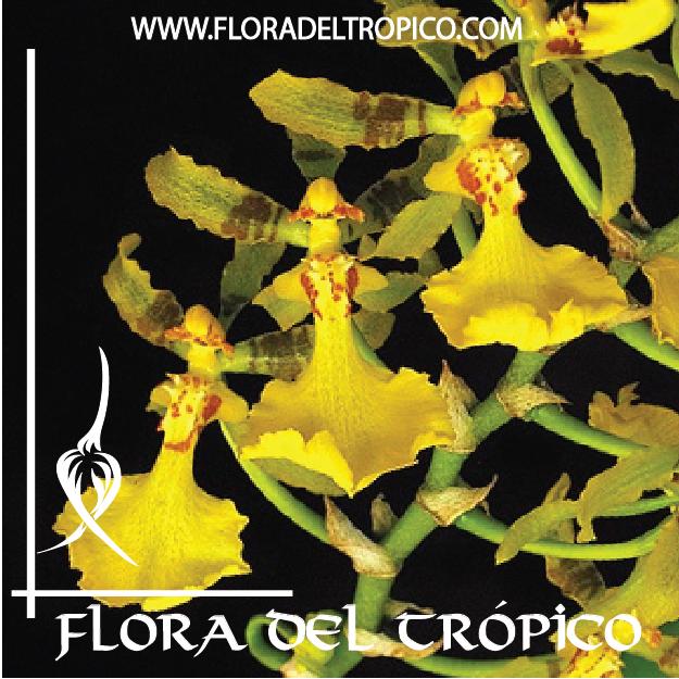 Orquidea Oncidium isthmi Comprar - Tienda Flora del Tropico