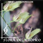 Orquidea Pleurothallis grobyi comprar - Flora del Tropico Tienda