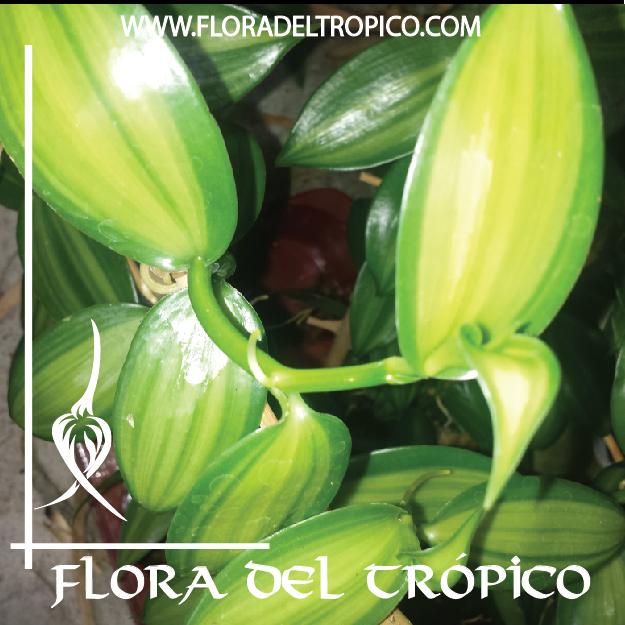Orquidea Vanilla planifolia variegata comprar - Flora del tropico Tienda