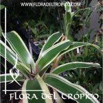 Bromelia Neoregelia schultesiana variegata Comprar - Tienda Flora del Tropico