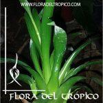 Bromelia Catopsis morreniana Comprar - Tienda Flora del Tropico