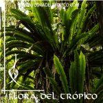 Helecho Asplenium nidus Comprar - Tienda Flora del Tropico