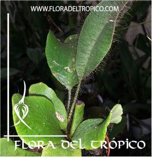 Helecho Elaphoglossum crinitum Comprar - Tienda Flora del Tropico