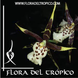Orquidea Brassia tessa comprar - flora del tropico tienda
