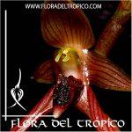 Orquidea Bulbophyllum vanvuurenii Comprar - Tienda Flora del Tropico