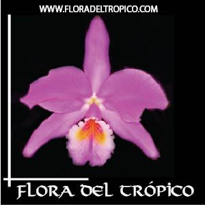 Orquidea Cattleya labiata comprar - Flora del Tropico Tienda