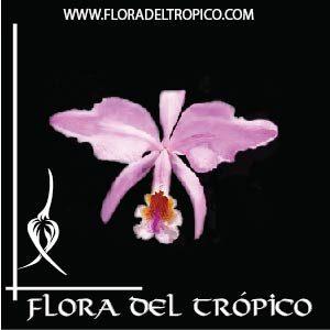 Orquidea Cattleya mossiae comprar - Flora del Tropico Tienda