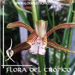 Orquidea Cymbidium erythraeum comprar - Flora del tropico Tienda