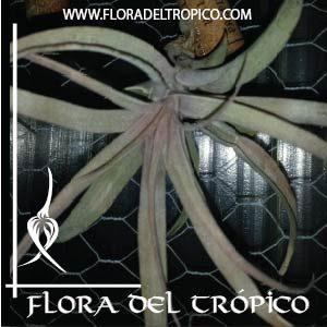 Tillandsia abdita comprar - Flora del Tropico Tienda
