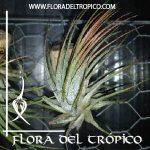 Tillandsia ionantha comprar - Flora del Tropico Tienda