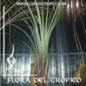 Tillandsia juncea comprar - Flora del Tropico Tienda