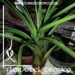Tillandsia metanocarter tricolor comprar - Flora del Tropico Tienda
