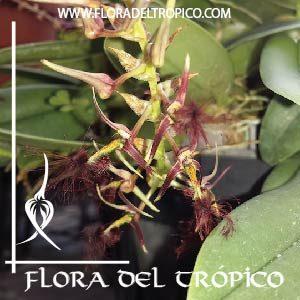 Orquidea Bulbophyllum barbigerum comprar - flora del tropico tienda
