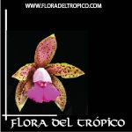 Orquidea Cattleya tigrina comprar - Flora del Tropico Tienda