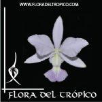 Orquidea Cattleya walkeriana coerulea comprar - Flora del Tropico Tienda