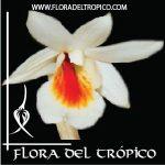 Orquidea Dendrobium christyanum Comprar - Tienda Flora del Tropico
