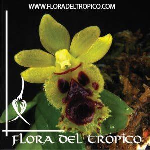 Orquidea Haraella odorata comprar - Flora del Tropico Tienda-01
