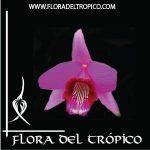Orquidea Laelia dayana comprar - Flora del Tropico Tienda