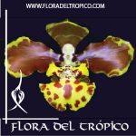 Orquidea Oncidium sarcodes comprar - Flora del Tropico Tienda-01