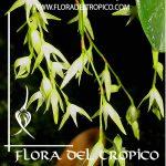 Orquidea Pleurothallis costaricense Comprar - Tienda Flora del Tropico