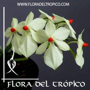 Orquidea Aerangis rhodosticta Comprar - Tienda Flora del Tropico