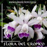 Orquidea Cattleya intermedia coerulea Comprar - Tienda Flora del Tropico