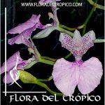 Orquidea Comparettia macroplectron Comprar - Tienda Flora del Tropico