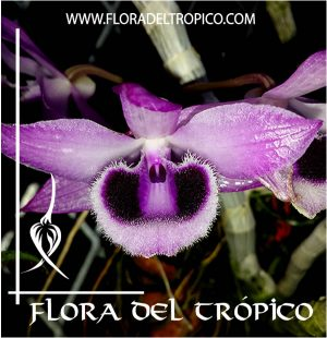 Orquidea Dendrobium parishii Comprar - Tienda Flora del Tropico