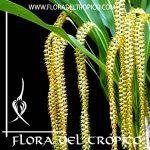 Orquidea Dendrochillum magnum Comprar - Tienda Flora del Tropico