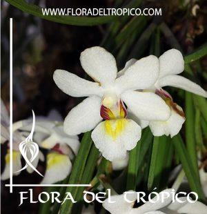 Orquidea Holcoglossum wangii Comprar - Tienda Flora del Tropico